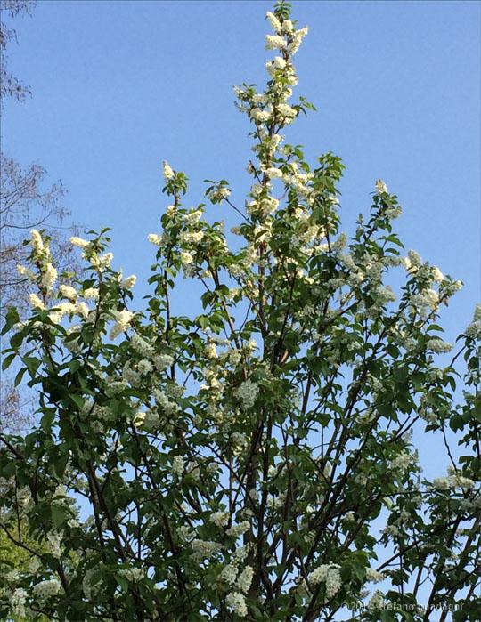 I nostri prunus già in fiore