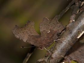 126-13-nymphalidae-polygonia-c-album-2-foto-roberto-innocenzi