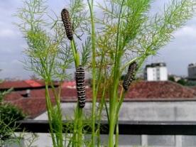 137-17-papilionidae-papilio-machaon-5-bruco-foto-gustavo-gandini