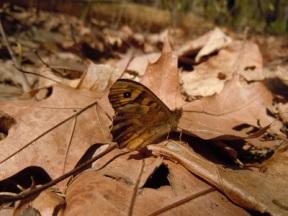 160-29-satyridae-pararge-aegeria-2-foto-gianluca-ferretti